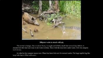 Alligators PowerPoint Presentation