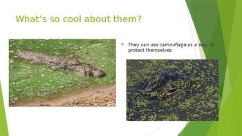 Alligators vs. Crocodiles
