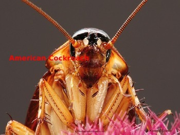 American Cockroach - Power Point - Facts History Pictures