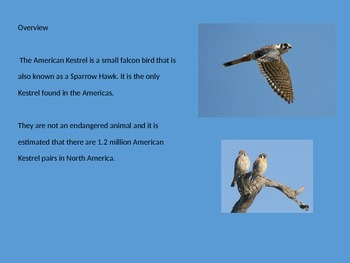 American Kestrel - Bird - Power Point - Facts Diet History etc.