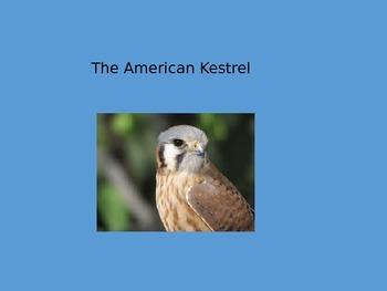 American Kestrel - Bird - Power Point - Facts Diet History etc.