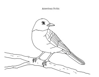 American Robin Coloring Page By Mama Draw It Teachers Pay Teachers