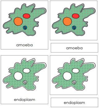 Amoeba Nomenclature Cards