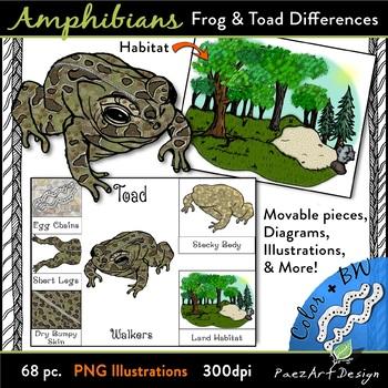Amphibians: Frog & Toad Differences CLIPART {Paez Art Design}