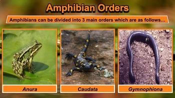 Amphibians - PowerPoint & Activities