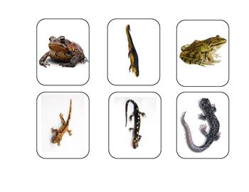 Amphibians and Mammals Flash Cards