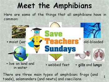 Amphibians eBook / PowerPoint (13 detailed pages)