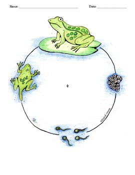 Amphibians/The Frog Life Cycle Activity Packet