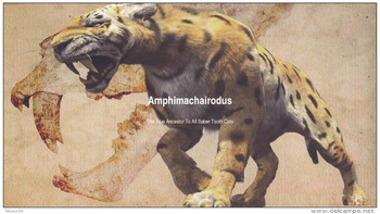 Amphimachairodus Info on the Earliest Member Of The Sabertooth Familuy