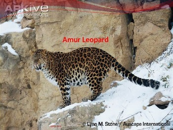 Amur Leopard - endangered - Power Point - information facts pictures