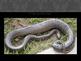 Anaconda Plan
