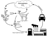 Analyzing Graphics: Carbon Cycle (Key)