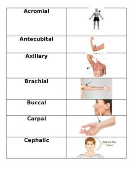 Anatomical Body Regions Card Sort/Flashcards