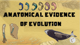 Anatomical Evidence of Evolution PowerPoint and Notes
