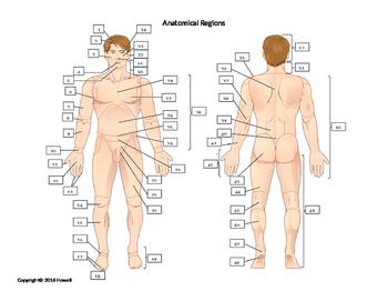 Anatomical Regions Quiz or Worksheet