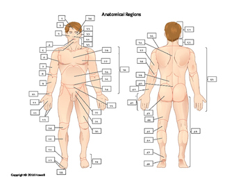 Anatomical Regions Quiz or Worksheet
