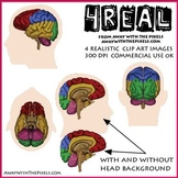 Anatomically Correct Brain Clipart - Large Clip Art Images