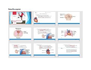 Anatomy Chapter 11 - Circulatory System