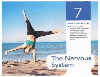 Anatomy Chapter 7: The Nervous System by Rebekah Branka | TpT