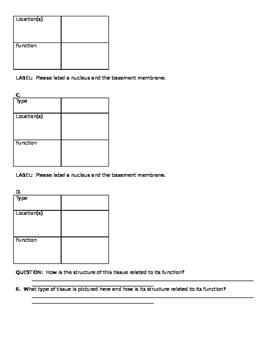 Anatomy Epithelial Tissue Worksheet