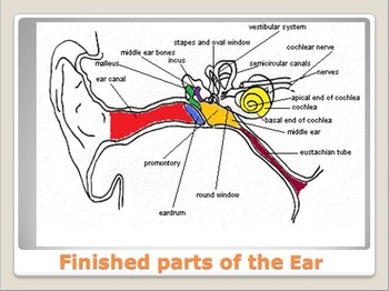 Anatomy - Human Body - Parts of the Ear w/worksheet (POWERPOINT)