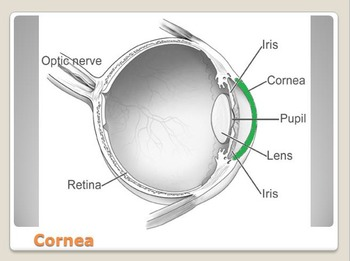 Anatomy - Human Body - Parts of the Eye w/worksheet (POWERPOINT)