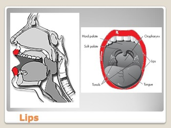 Anatomy - Human Body - Parts of the Tongue and Mouth w/worksheet (POWERPOINT)