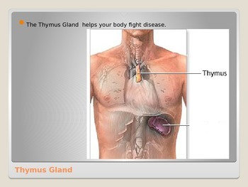 Anatomy - Human Body - Thymus Gland