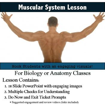 Anatomy - Muscular System