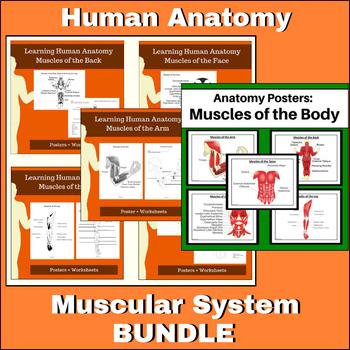 Anatomy - Muscular System Bundle