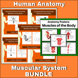 Anatomy - Muscular System Bundle