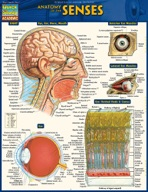 Anatomy Of The Senses - QuickStudy Guide