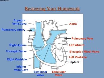 Anatomy & Physiology - 11 & 12 - Cardiovascular System & The Heart