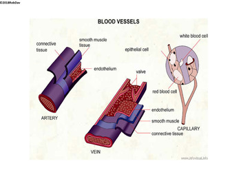 Anatomy & Physiology - 13 - Blood Vessels & Blood Pressure