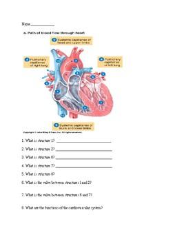 Anatomy Physiology Cardiovascular Quiz Heart Worksheet By L C