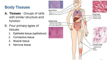 Anatomy & Physiology Unit 3 Powerpoint: Human Body Tissues by Best for  Teachers