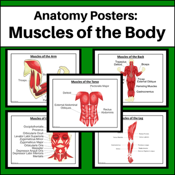 Anatomy Posters - Muscles of the Body
