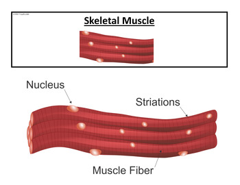 Anatomy Posters - Types of Muscle