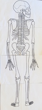 Anatomy Practicals-Life-Sized Anterior & Posterior Skeletons! 8 Full Pages Each!