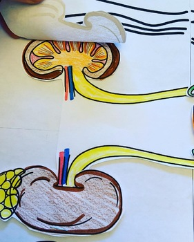 Anatomy Practicals-Life-Sized Excretory/ Urinary System PROJECT!