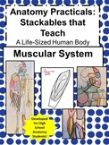 Anatomy Practicals-Life-Sized Muscular System PROJECT!
