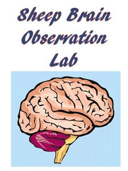 Nervous System Sheep Brain Observation Lab Anatomy Physiology Biology