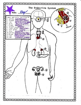 The Human Endocrine System by Biology Buff | Teachers Pay Teachers