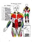 Muscular System (Human)