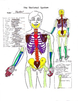 The Human Skeletal System