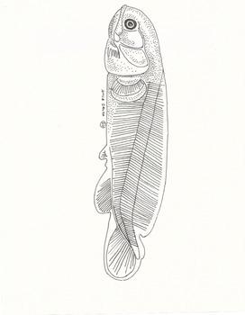 Anatomy of Amia calva (Bowfin)