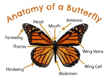 Anatomy of a Butterfly