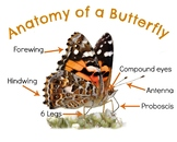 Anatomy of a Painted Lady Butterfly