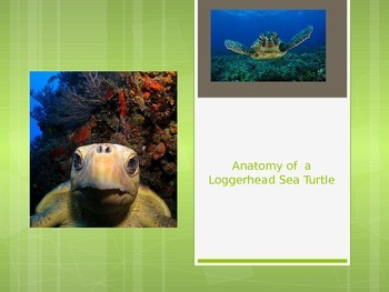 Anatomy of a sea turtle PowerPoint