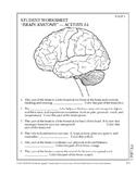 Anatomy of the Brain Class Activity Diagram Quiz Pictures